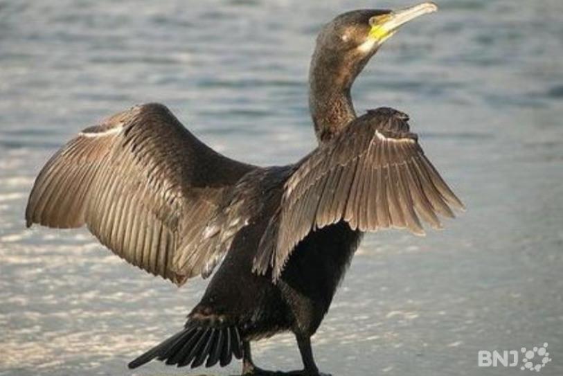 Un cormoran mange 800g de poisson par jour.