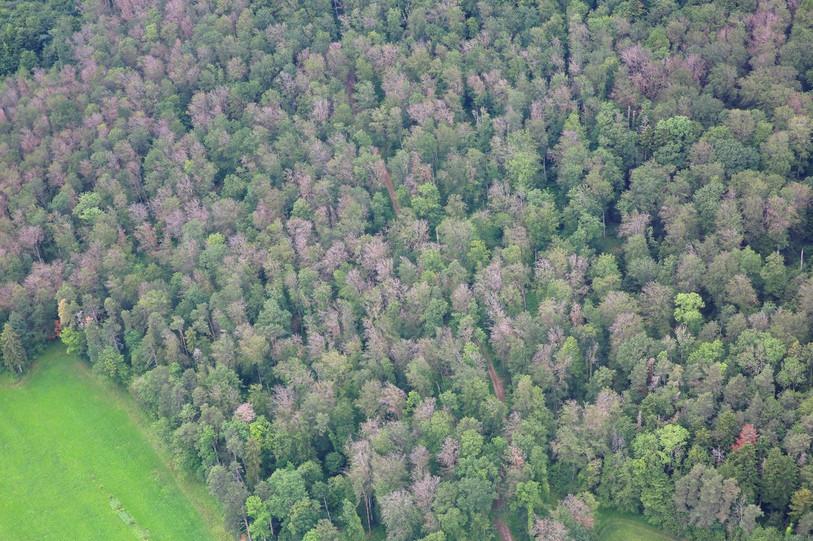 Une forêt touchée (photo Valentin Queloz, WSL).