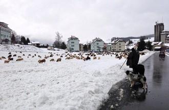 250 moutons, 3 chiens, un âne et leur berger ont traversé Tavannes mardi après-midi