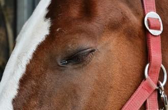 Les chevaux sont préparés depuis des mois.