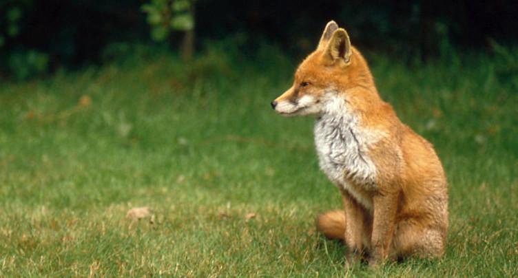 Les renards ne sont pas des chienchiens!