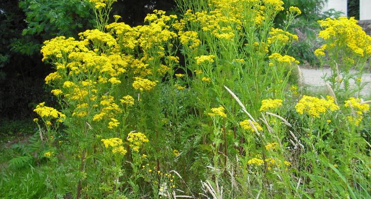 Une plante bucolique mais dangereuse pour le bétail