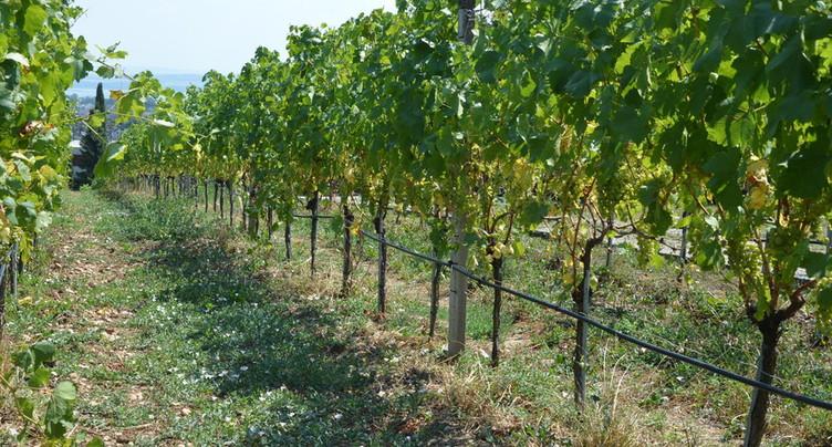 Boom de la viticulture bio à Neuchâtel