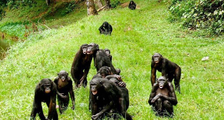 Des singes si proches de l'humain