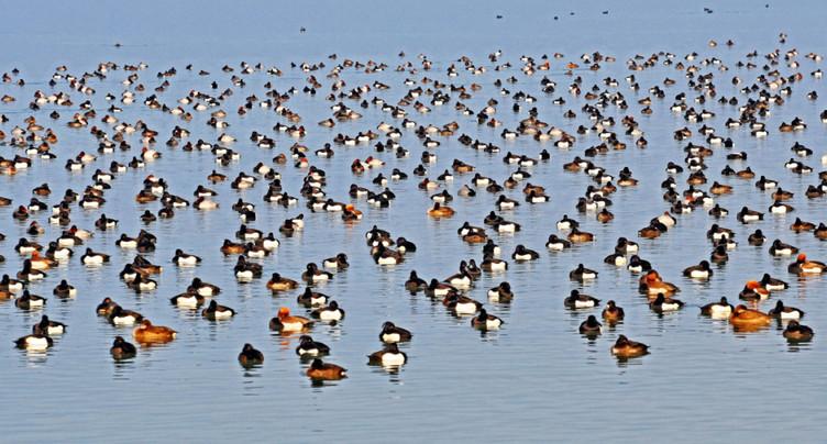 Les oiseaux d'eau sont recensés depuis 50 ans