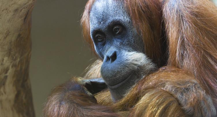 Mort de la femelle orang-outang Lea dans sa 50e année à Zurich