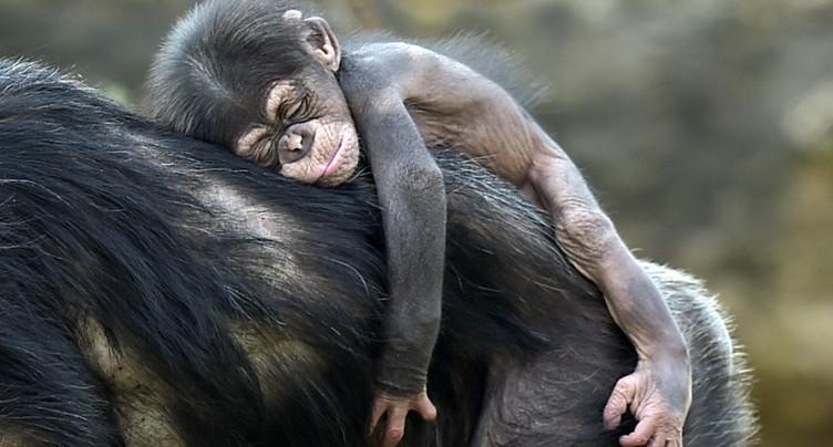 Côte d'Ivoire: un congrès pour sauver les derniers chimpanzés