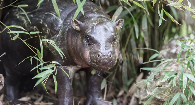 Zoo de Bâle: bébé hippopotame nain à découvrir par beau temps