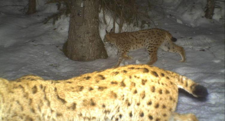 Les deux lynx capturés dans le Jura sont porteurs du virus FIV