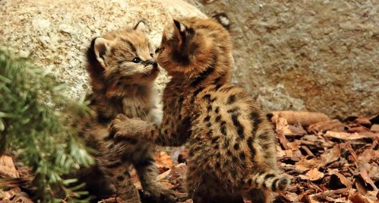 Deux petits servals font leur première sortie au Zoo de Servion