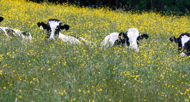 Cours l'acupuncture sur vaches dans la ferme bio de Sorens (FR)