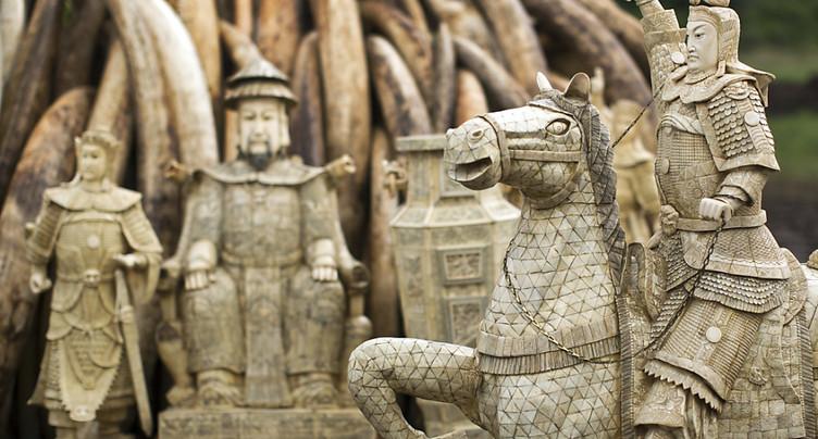 Baisse du prix de l'ivoire, un espoir pour les éléphants