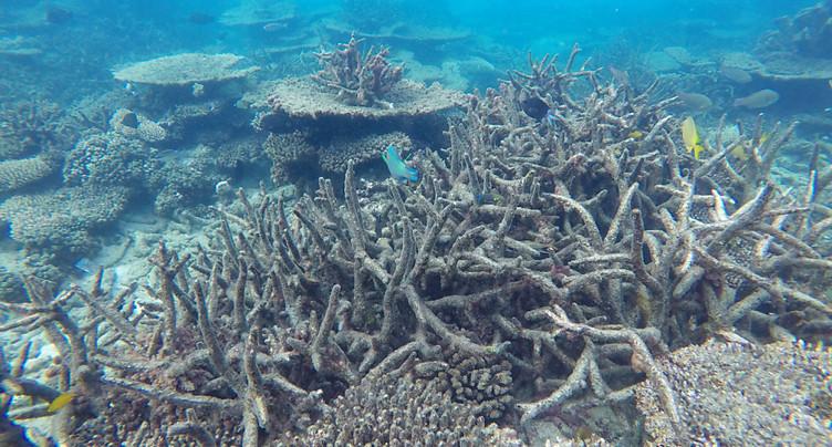 Les coraux blanchis deux années de suite sont condamnés