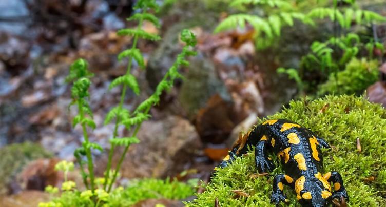 Un champignon asiatique tue les salamandres européennes