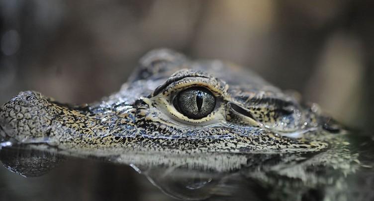 Le zoo bernois du Dählhölzi fait plaisir à ses crocodiles nains