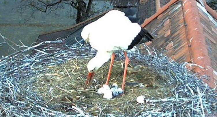 Les premiers bébés du couple de cigogne à Berne sont nés