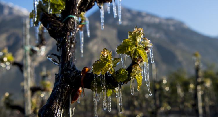 Le gel a malmené presque toutes les régions viticoles de Suisse