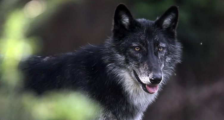 Le WWF ne s'oppose pas à l'autorisation d'abattre le loup M75