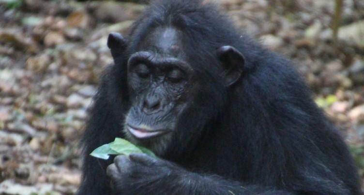 Chez les chimpanzés, manier les outils est une affaire de famille