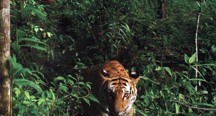 Le Népal brûle des dizaines de peaux de tigres et de rhinocéros