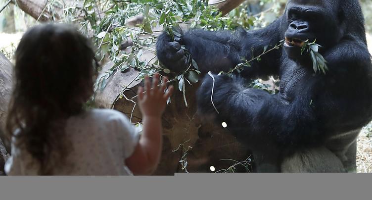 Le dos argenté du zoo de Zurich fête ses 40 ans