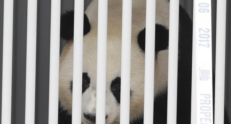 Deux pandas « ambassadeurs » de Chine accueillis en stars à Berlin
