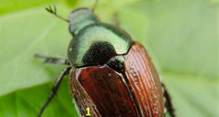 Le scarabée japonais fait son apparition au Tessin