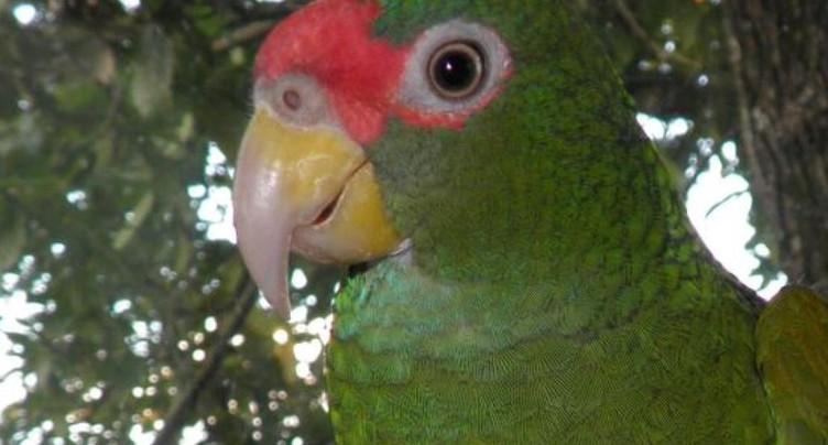 Nouvelle espèce de perroquet amazone découverte au Mexique