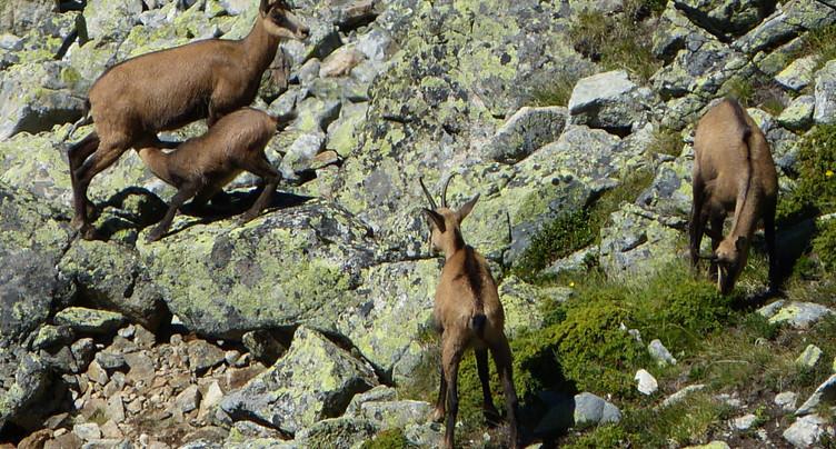Réchauffement: Chamois, bouquetins et cerfs migrent en altitude