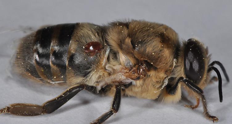 Une abeille sur cinq n'a pas passé l'hiver