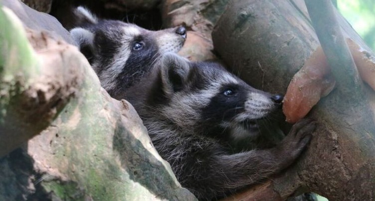 Surprise au zoo de Servion: naissance de deux ratons laveurs
