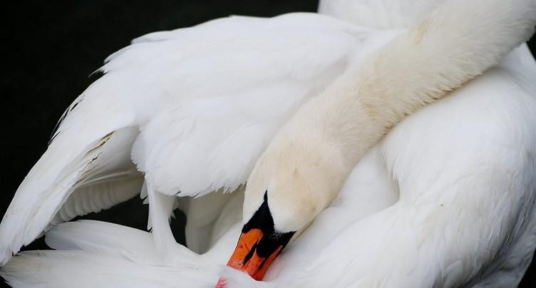 La grippe aviaire tue deux cygnes à Yverdon-les-Bains (VD)