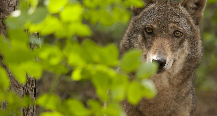 L'initiative des paysans uranais contre le loup a abouti