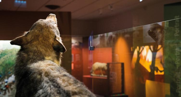 Carton plein pour l'exposition sur le loup à Fribourg