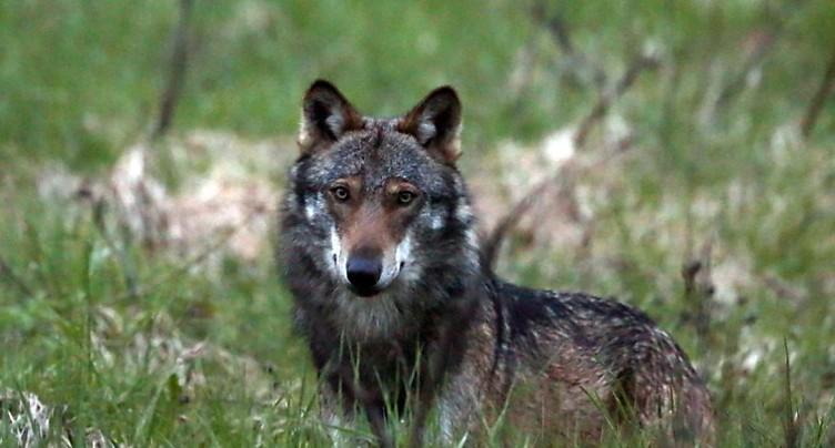 Le Conseil fédéral va demander un reclassement du loup