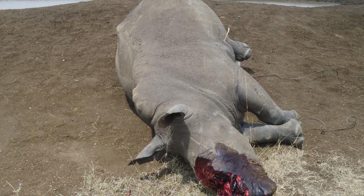 Des cornes de rhinocéros transformées en bijoux par des trafiquants