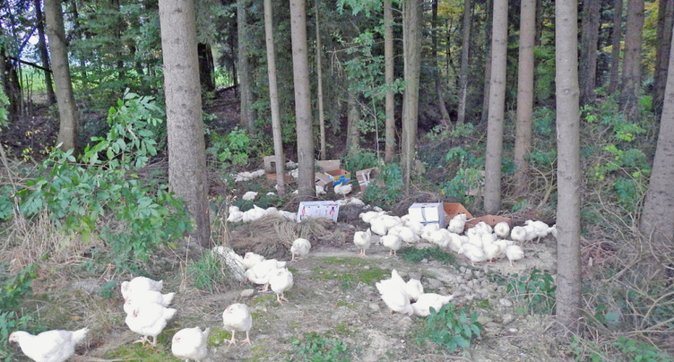 Condamnation pour abandon de 150 poulets en forêt