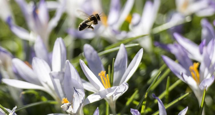 Des fleurs produisent un « halo bleu » attirant les abeilles (étude)