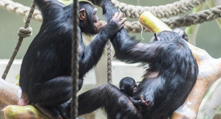 Etude de l'Uni de Neuchâtel sur les chimpanzés du zoo de Bâle
