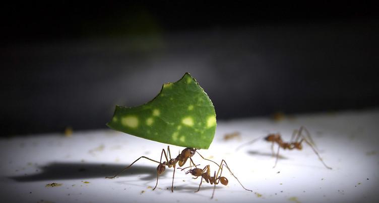 Des millions de fourmis au Muséum de Genève