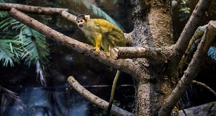Nouvel espace pour les singes du zoo de Servion (VD)