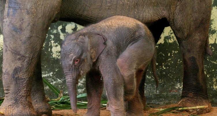 Naissance d'un éléphanteau de Sumatra dans une forêt protégée