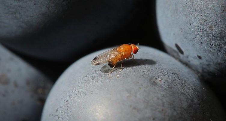 Une guêpe japonaise pour lutter contre la mouche suzukii