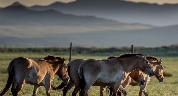 Fin de course pour les chevaux sauvages