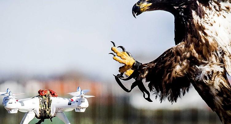 Deux aiglons en dressage à Genève pour intercepter les drones