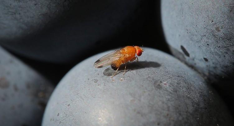 Agroscope: percée dans la lutte contre la mouche suzukii