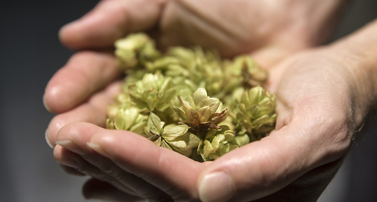 De la bière OGM au bon goût de houblon mais sans houblon