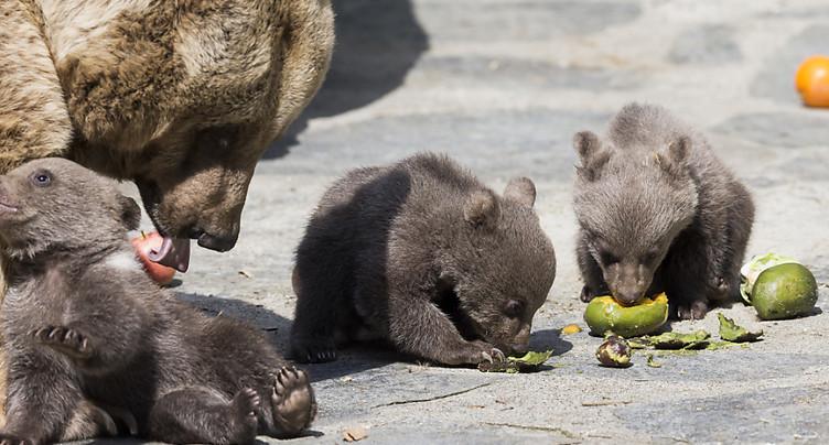 Trois oursons parmi les nouveaux pensionnaires du zoo de Servion