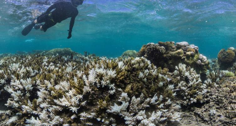 Hécatombe « catastrophique » de coraux dans la grande barrière
