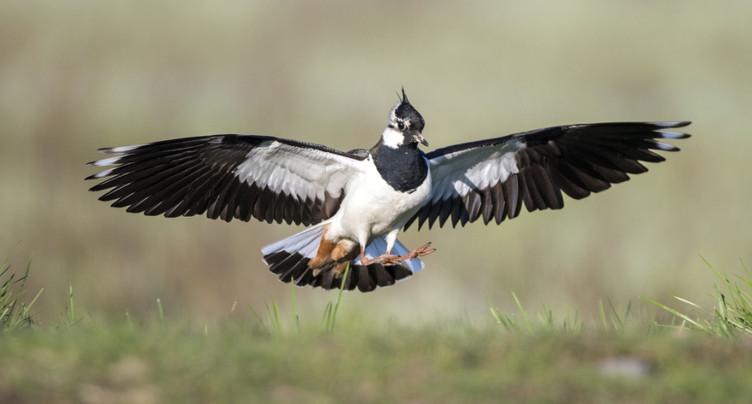 Près de 1500 oiseaux sur la liste rouge mondiale